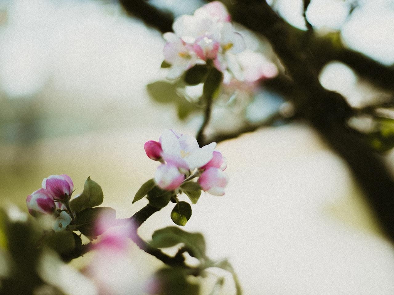 Bio Apfel Blüte vom Pankrazhofer