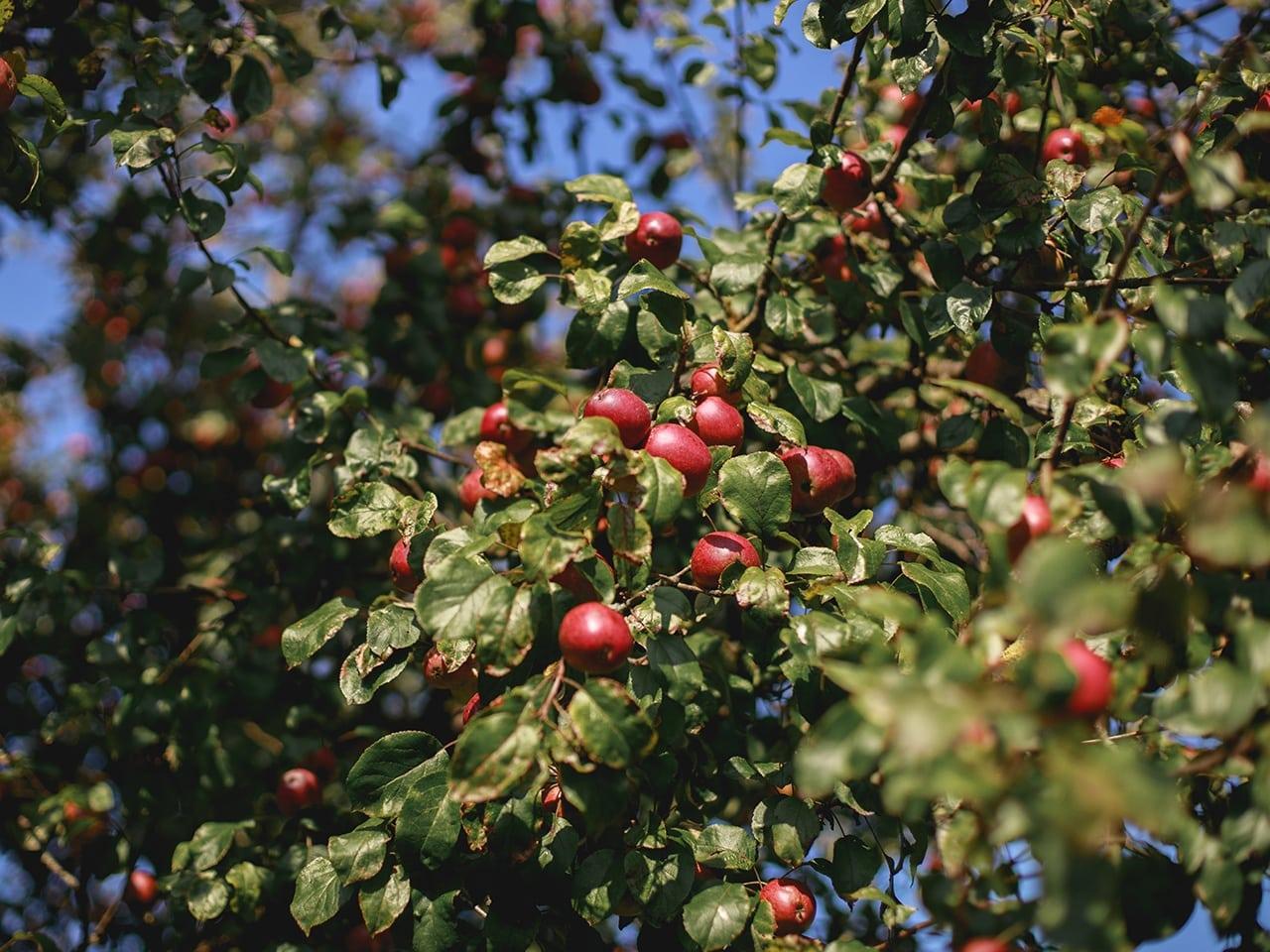 Bio Apfelbaum vom Pankrazhofer Tragwein
