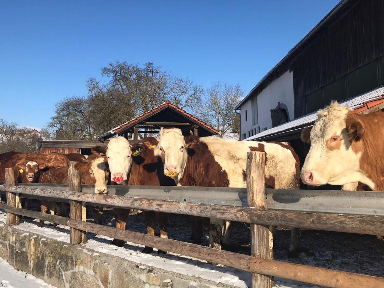 Bio Weide Beef Rinder Laufstall Pankrazhofer Tragwein
