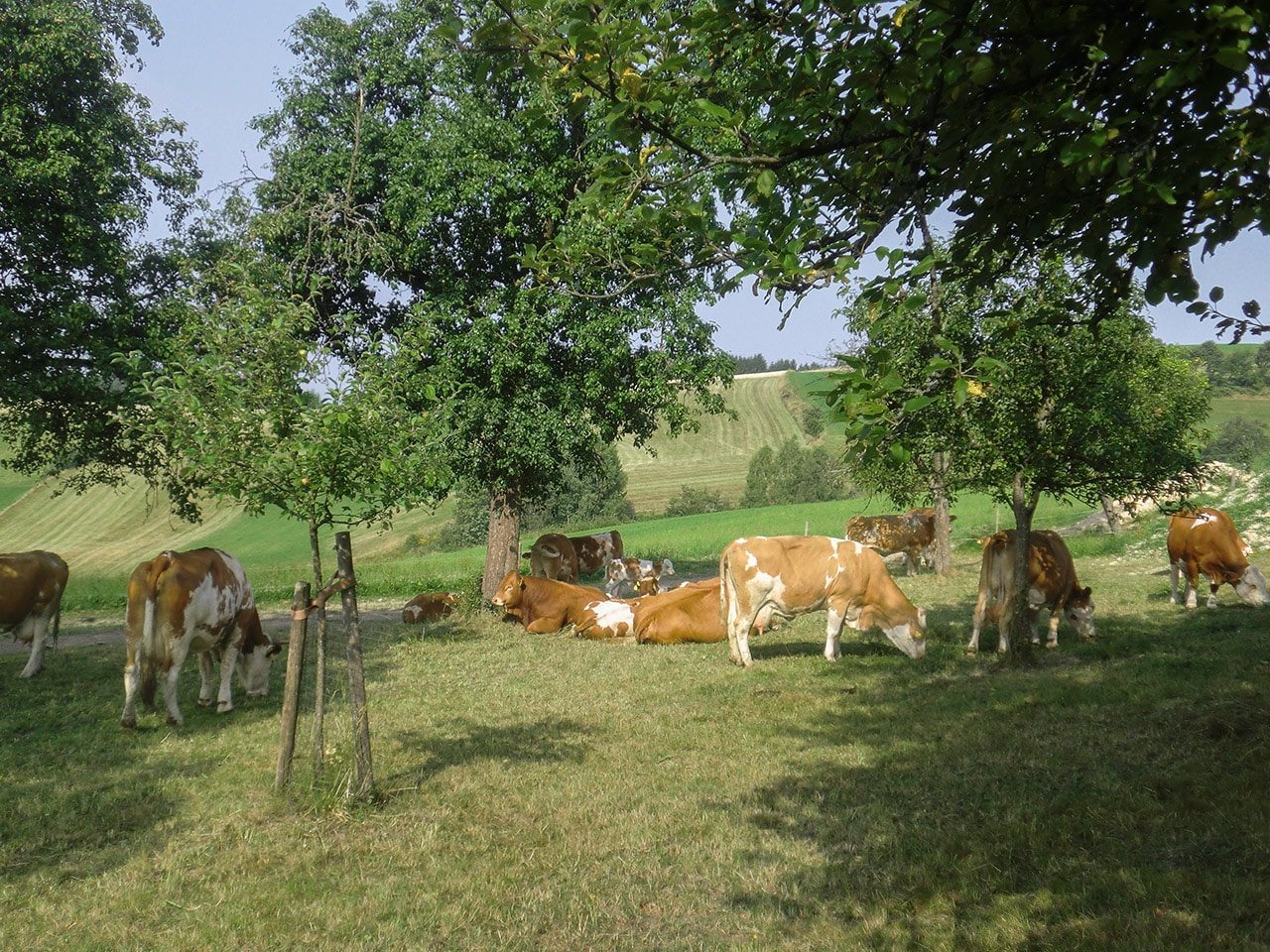 Bio Weide Beef Rinder Weide Panrkazhofer Tragwein