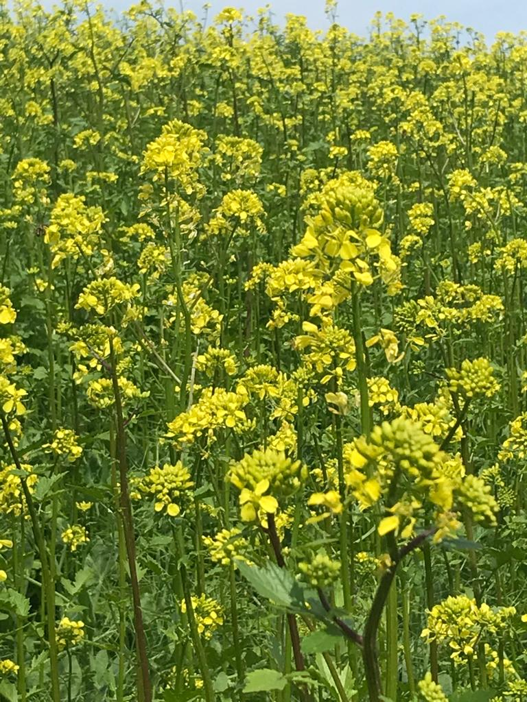 Gelber Senf blüht in voller Pracht