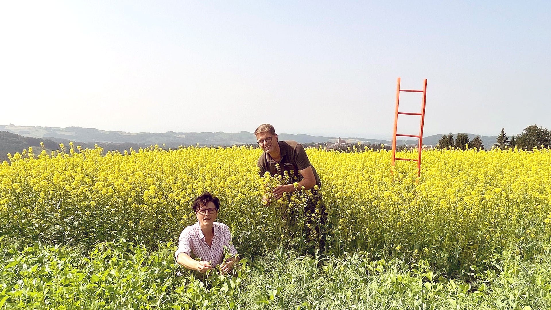 Senfanbau: Feldversuch geglückt